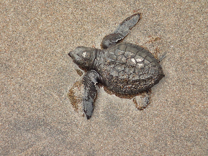 RELEASING NEW LIFE. The baby turtles are usually no bigger than your palm. Pawikan hatching and release months are usually from November to February.