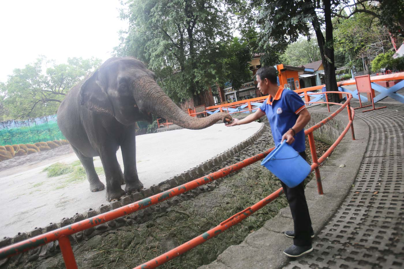 FAMOUS RESIDENT. Mali, a 43-year-old Asian elephant which started living in Manila Zoo at age 3, is fed by a zoo employee without the usual gawkers on January 23, 2019. Photo by Inoue Jaena/Rappler