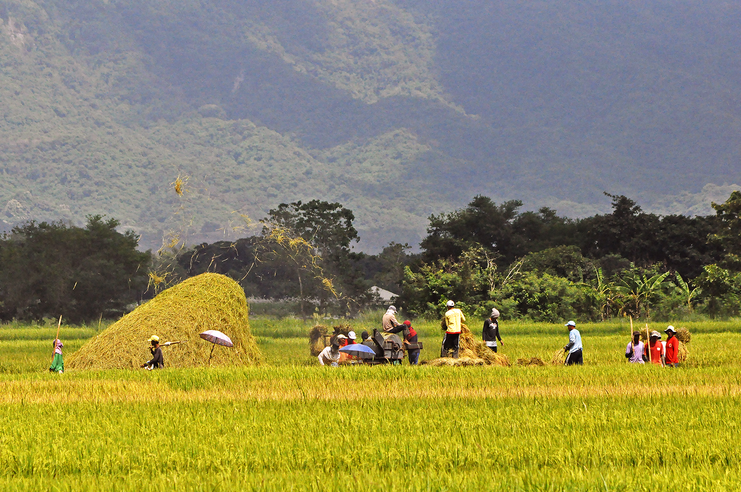 BAYANIHAN FOR THE STAPLE. A community finishes a palay season dafter harvest, taking advantage of the good weather in Pangasinan. Photo by Mau Victa/Rappler
