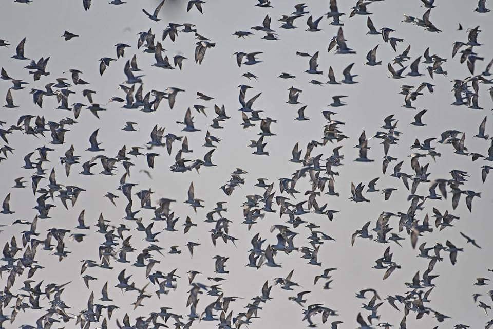 FLOCKS UPON FLOCKS. It is common to see many birds here during migratory season from September to March. Photo courtesy of Sasmuan Bangkung Malapad Critical Habitat Ecotourism Area Facebook page