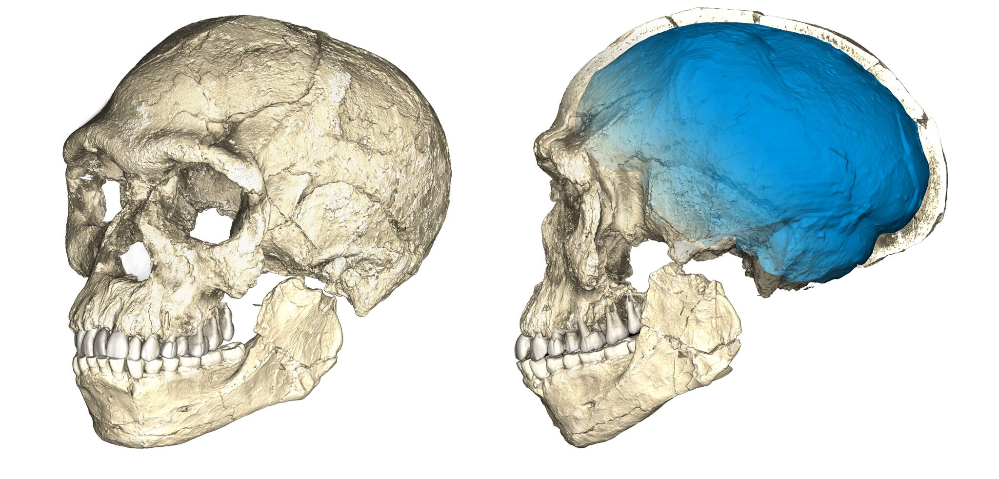 Two views of a composite reconstruction of the earliest known Homo sapiens fossils from Jebel Irhoud (Morocco) based on micro computed tomographic scans of multiple original fossils. Graphic by Philipp Gunz, MPI EVA Leipzig
