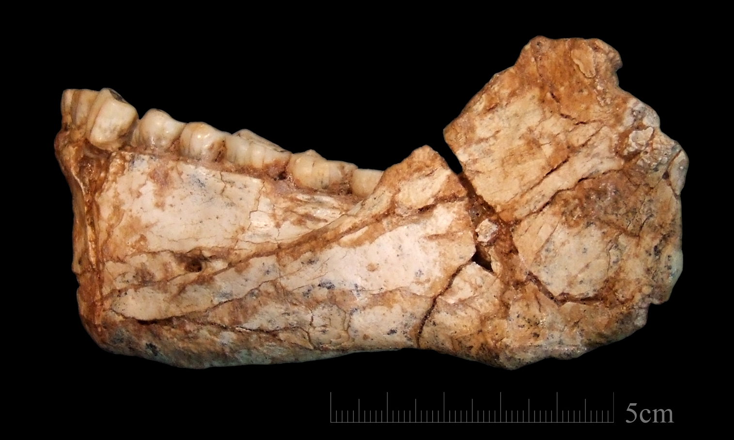 KEY. The mandible Irhoud 11 is the first, almost complete adult mandible discovered at the site of Jebel Irhoud. Photo by Jean-Jacques Hublin, MPI-EVA, Leipzig