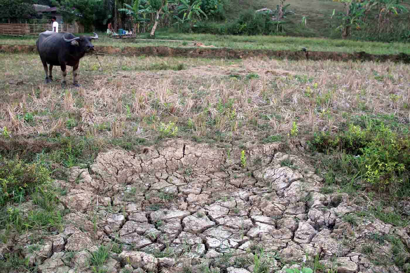 A riceland in Bacacay, Albay turned barren due to drought. Photo by Rhaydz Barcia/Rappler