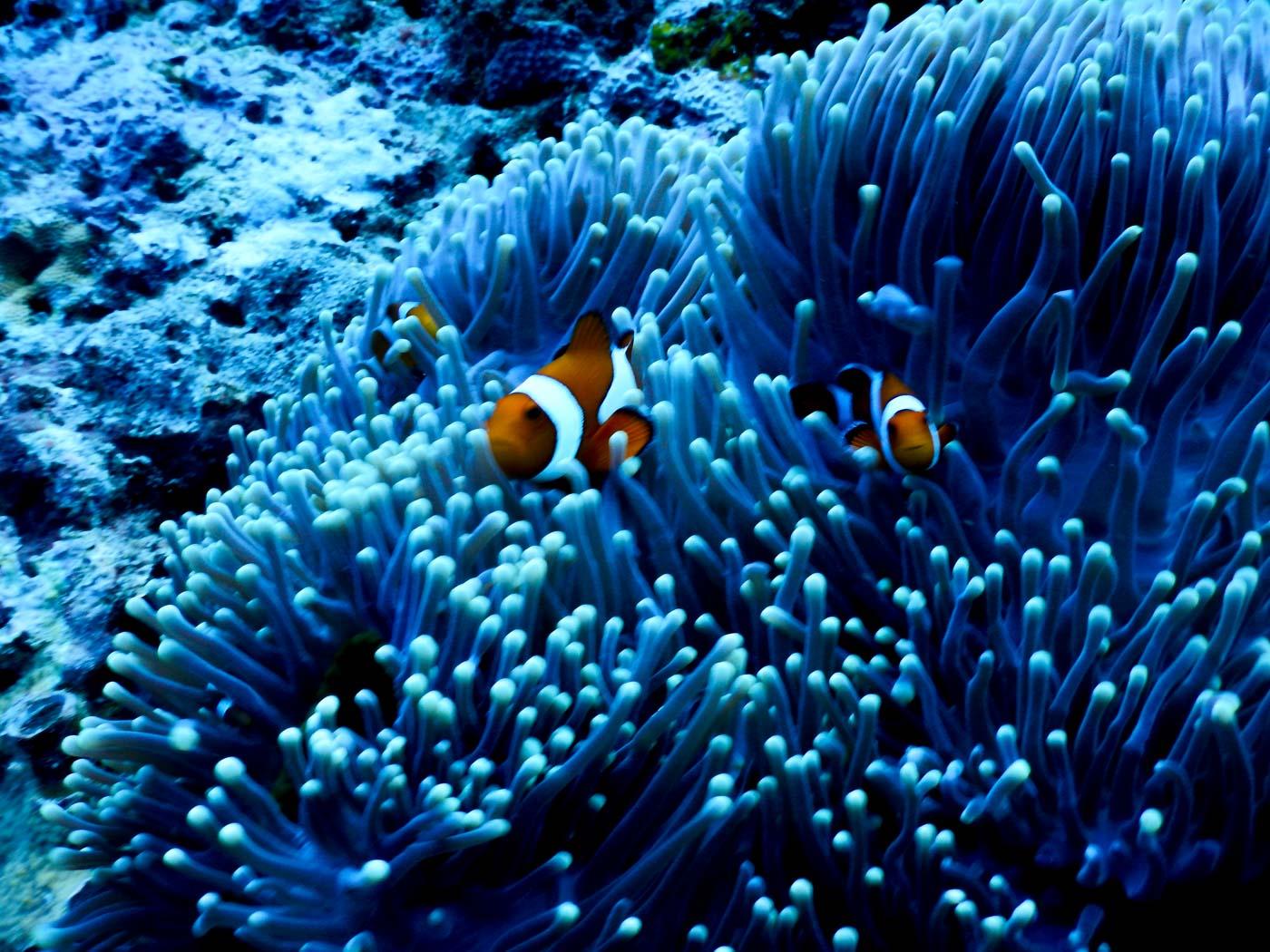ECOSYSTEM. Clownfish take shelter in corals. Photo by Rhaydz B. Barcia/Rappler