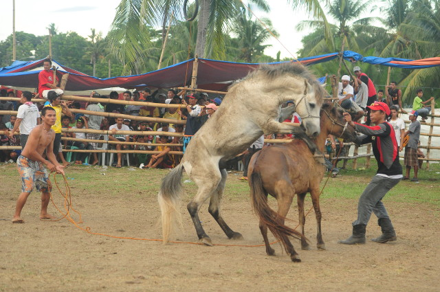 INDUCED AGGRESSION. Before a fight begins, male horses are brought near mares in heat and restrained to induce aggressive behavior. Photo by NFA Philippines