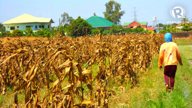 EL NINO. The El Nino phenomenon pulls down the agriculture sector in the final stretch of the Aquino administration. Photo by Fritzie Rodriguez/Rappler