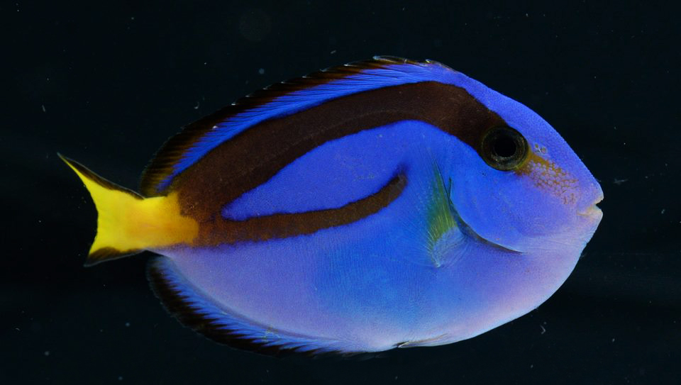 DORY. Finding Nemou2019s Dory is a Regal Tang (Paracanthus hepatus) u2013 an herbivore which feeds almost exclusively on algae. It is delicate and highly-prone to disease. Most significantly, it cannot yet be bred in captivity u2013 so every captive Regal Tang will have come from a coral reef. Photo from RVS Fishworld