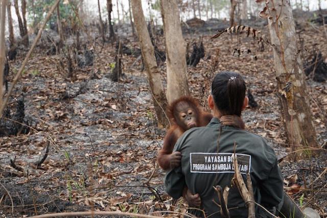 Orangutan digendong petugas, diselamatkan dari kebakaran hutan.