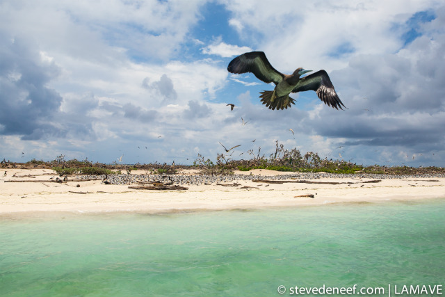 IN FLIGHT. This picture offers a glimpse of bird islet with one of its residents u2013 a Brown Booby in full flight. Steve de Neef/LAMAVE