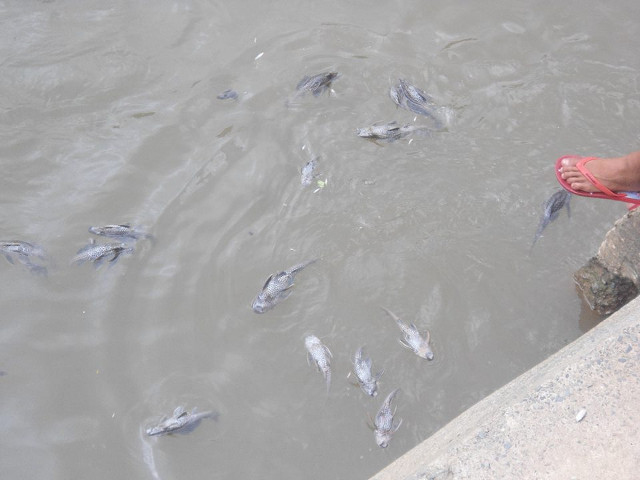 POISONED? Dead fish float in Nangka River, Marikina. Photo by Raul Batica