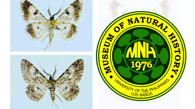 NEW SPECIES. The new species of Philippine moths is named after a Filipino entomologist and curator. Photo from UPLB Museum of Natural History