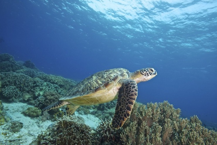 MARINE TREASURE. A green sea turtle swimming in coral gardens of the Marine Protected Area (MPA) of Apo Island in Dauin town, Negros Oriental, Philippines, 11 July 2013. Steve de Neef/Greenpeace handout/EPA