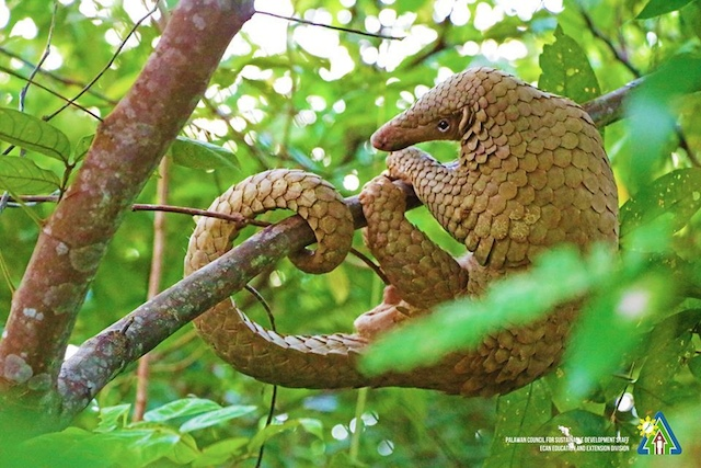 CRITICALLY ENDANGERED. The Palawan pangolin or balintong is a burrowing mammal found in Palawan's secondary forests, grassland, open country, thick bush, shrubby slopes and subsistence farming areas. It acts as pest control, regulating termite and ant populations in the wild. File photo courtesy of PCSDS