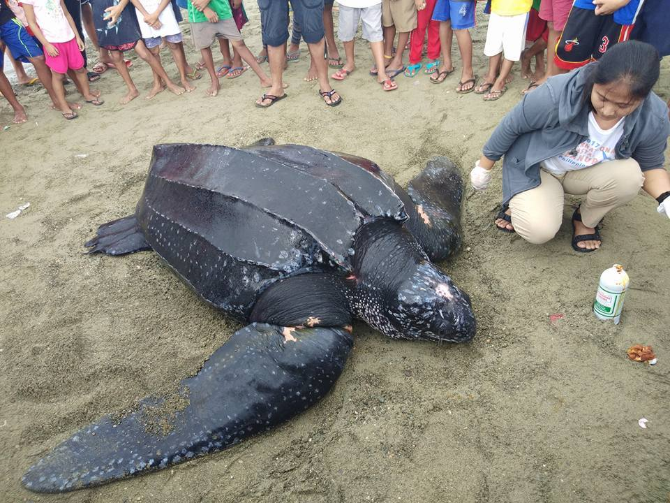 READY FOR RELEASE. The giant leatherback turtle is ready to be returned to the sea after it received treatment for its bruises and scrapes caused by its net entanglement. Photo courtesy of Ryan Cediu00f1o