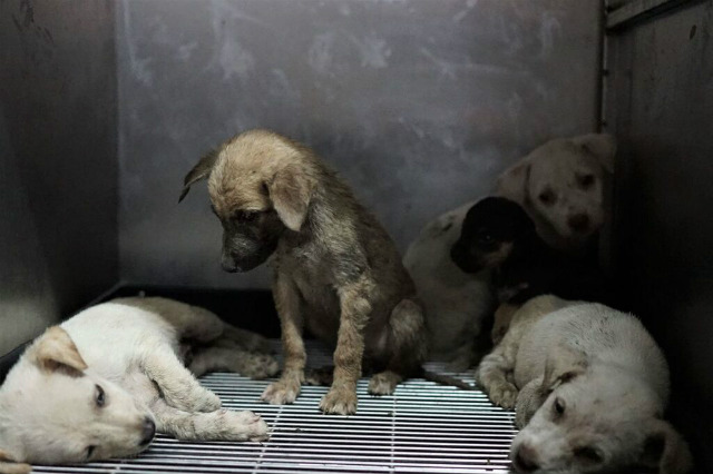 RESCUE. Dogs rescued during the Taal Volcano eruption will have new homes. Photo from PETA Asia