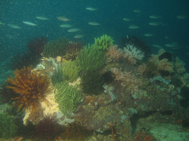 LIVE CORALS. The colorful coral reef in Batangas is a far cry from the white dead corals found in many marine ecosystems in the country. Photo courtesy of MSN