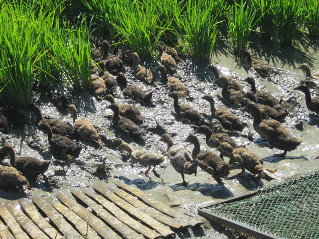 RELEASE THE DUCKS. Young ducks swim around the rice plants and eat pests like snails and their eggs. Photo courtesy of PhilRice