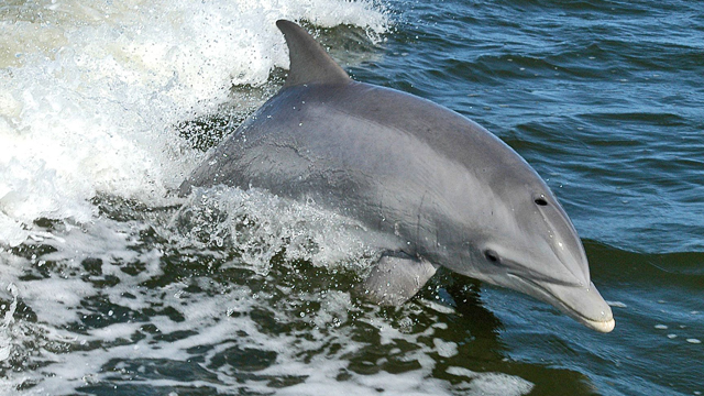 HELP. Environment Minister Rafael Pacchiano says the authorities would deploy dolphins trained by the US Navy to herd as many vaquitas as possible into a marine refuge. File photo of dolphin from Wikipedia