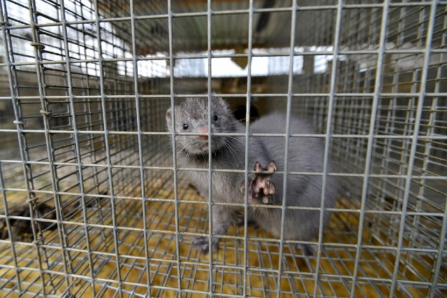 INFECTED. This file photo taken on April 28, 2015 shows a mink looking out from a cage at a mink farm near Stavropol. File photo by Danil Semyonov/AFPu2028