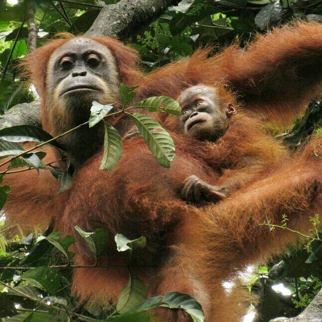 Marconi, seekor orangutan yang dilepaskan ke Cagar Alam Jantho, Aceh pada 2011, tampak bersama bayinya yang diperkirakan berumur antara 6 sampai 8 bulan. Foto oleh BKSDA dan SCOP.