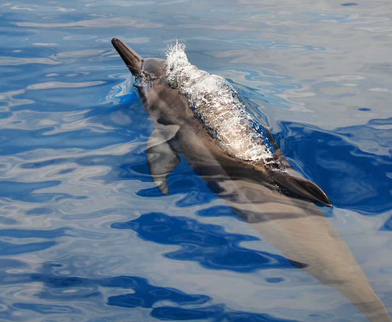 LITTLE DOLPHINS. Like little kids at play, dolphins cavort and blow bubbles among themselves. They also use air to corral prey, creating bubble-nets to drive schools of fish like sardines into tight balls where they can be easily caught and eaten.