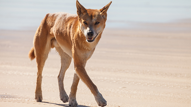 WILD ANIMAL. Dingoes are native to Australia. Shutterstock