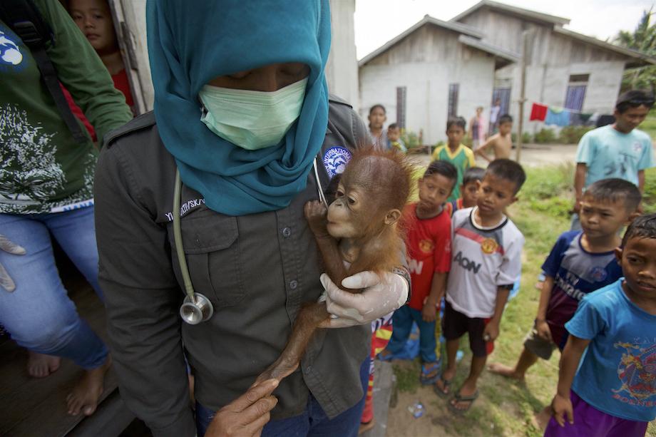 BAYI. Petugas dari International Animal Rescua menyelamatkan bayi orangutan yang dipelihara secara ilegal di sebuah rumah di desa Sungai Besar, Kalimantan Barat, 27 Juli 2015. Foto: EPA/Tim Laman