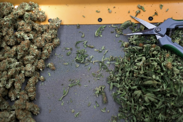 HARVEST. The trimmings and buds of marijuana plants are seen during a harvest at Alternative Solutions, April 20, 2016. Photo by Brendan Smialowski/AFP