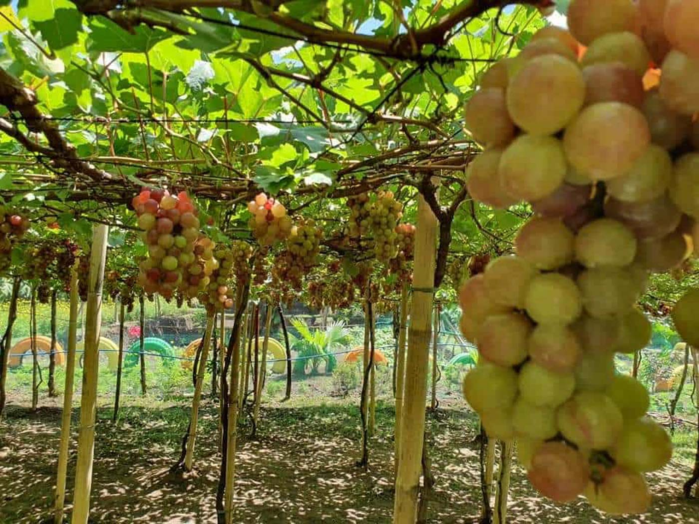 TAKE YOUR PICK.Tourists can pick grapes for a fee. Photo by Rhaydz Barcia/Rappler