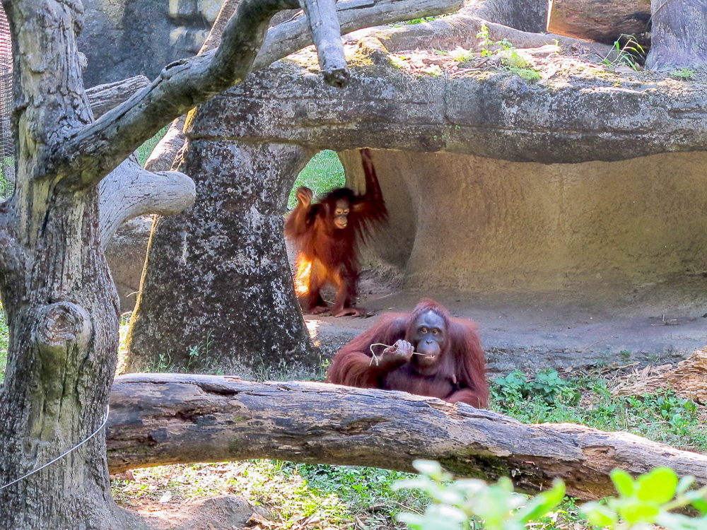 PLAY. Find orangutans and other amazing animals in Taipei Zoo. Photo by Nikka Sarthou-Lainez