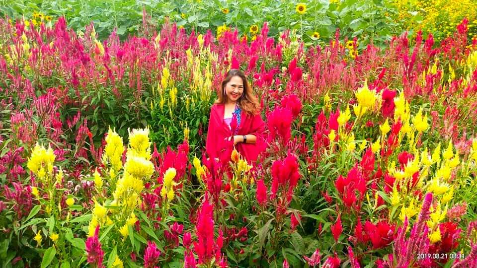 FAMOUS FLOWERS. The celosias made waves in social media after Siraou2019s flower garden opened to the public. In the photo is the gardenu2019s owner. Photo courtesy of Sirao Garden