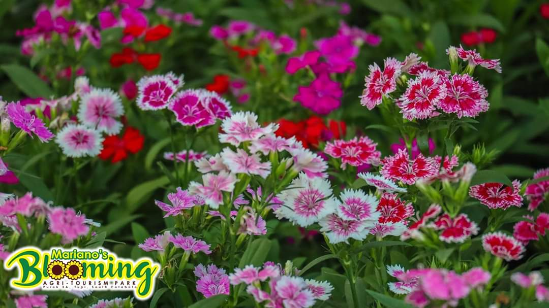 OTHER FLOWERS. The park has more blooms like this variety of carnations. Photo courtesy of Mariano's Blooming Agri-Tourism Park