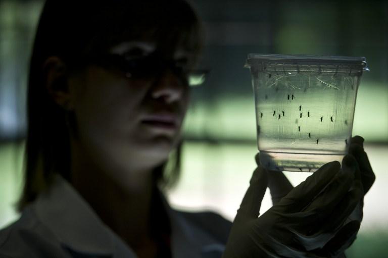 Nyamuk aedes aegypti di dalam sebuah kontainer di sebuah lab di Sao Paulo, Brasil, pada 8 Januari 2016. Foto oleh Nelson Almeida/AFP