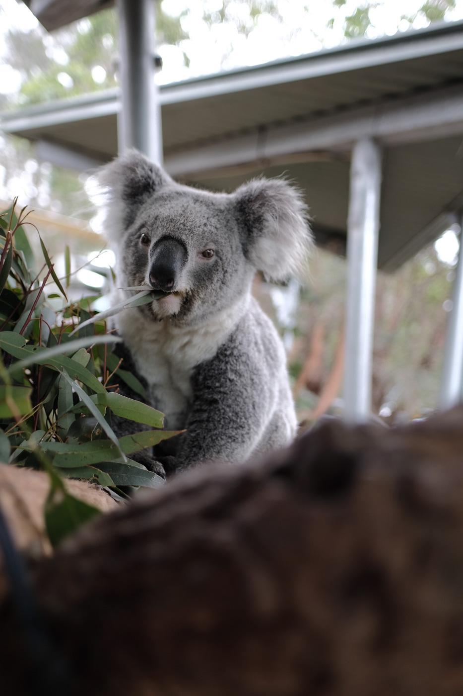 CUDDLY. A koala bear at Taronga Zoo