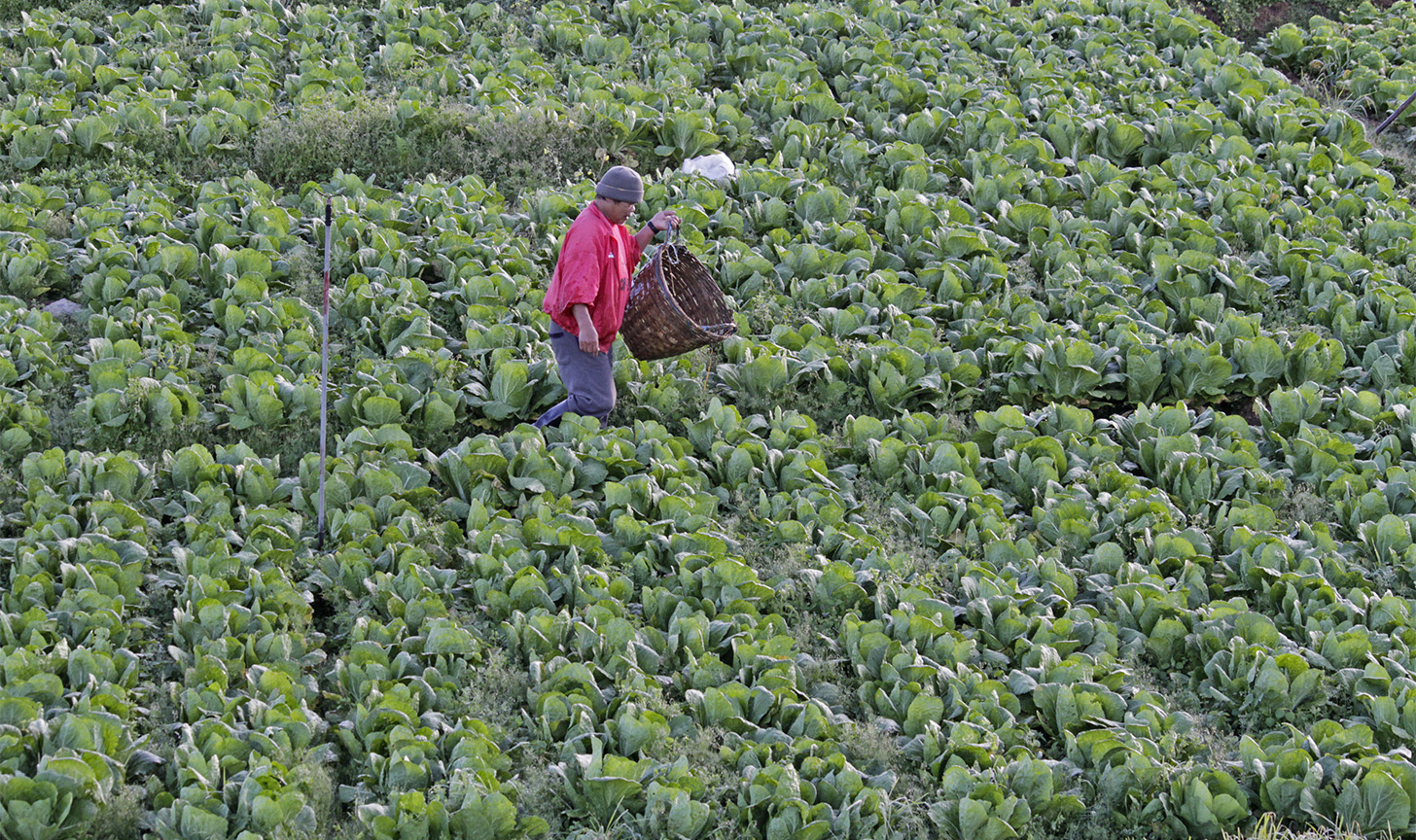FARMING IN BENGUET. A farmer checks on a farm planted with lettuce in preparation for harvest in Barangay Paoay, Atok town in Benguet province. Photo by Mau Victa/Rappler