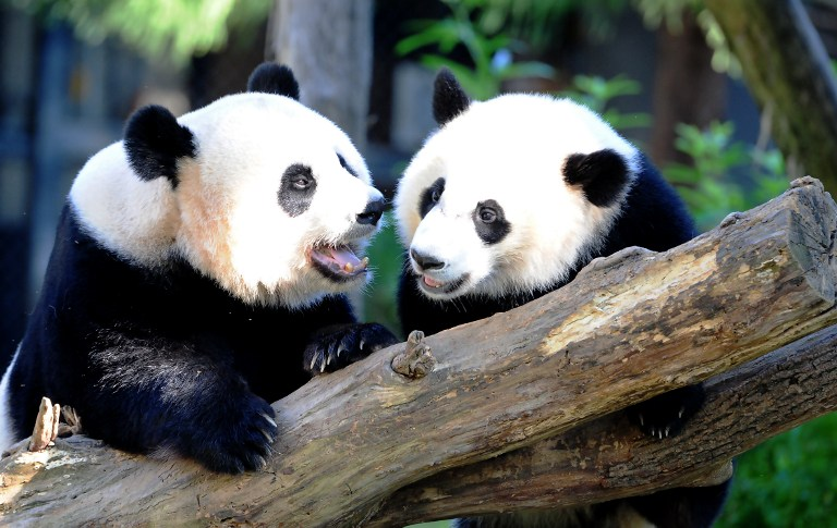 PLAYTIME. In this file photo, Giant panda Mei Xiang (L) and her cub Bei Bei play in their enclosure August 24, 2016 at the National Zoo in Washington, DC. Karen Bleier/AFP