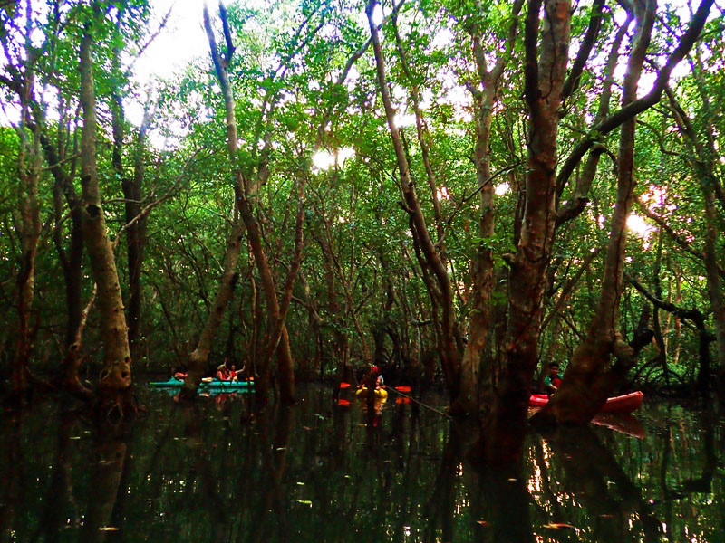 MANGROVE FOREST. Tourists would stay here before paddling out in time usually for sunset.