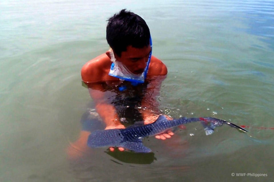 WHALE SHARK PUP. A handler cares for a very young whale shark rescued near Donsol and later released back in 2009. The presence of more juveniles in the first half of 2019 suggests that Ticao Pass may be their pupping ground. Photograph by WWF-Philippines