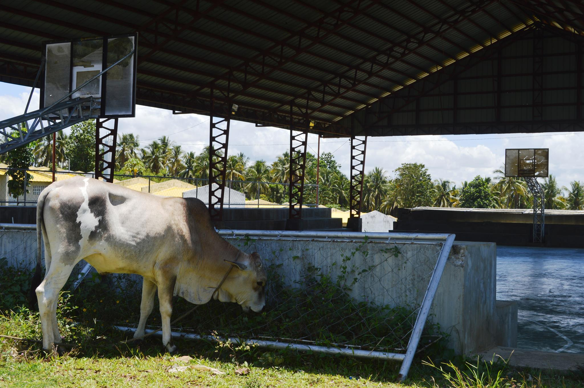 LONE RESIDENT. A cow grazes at Kagitingan Heights' covered court/multi-purpose center.Photo by Gualberto Laput/Rappler