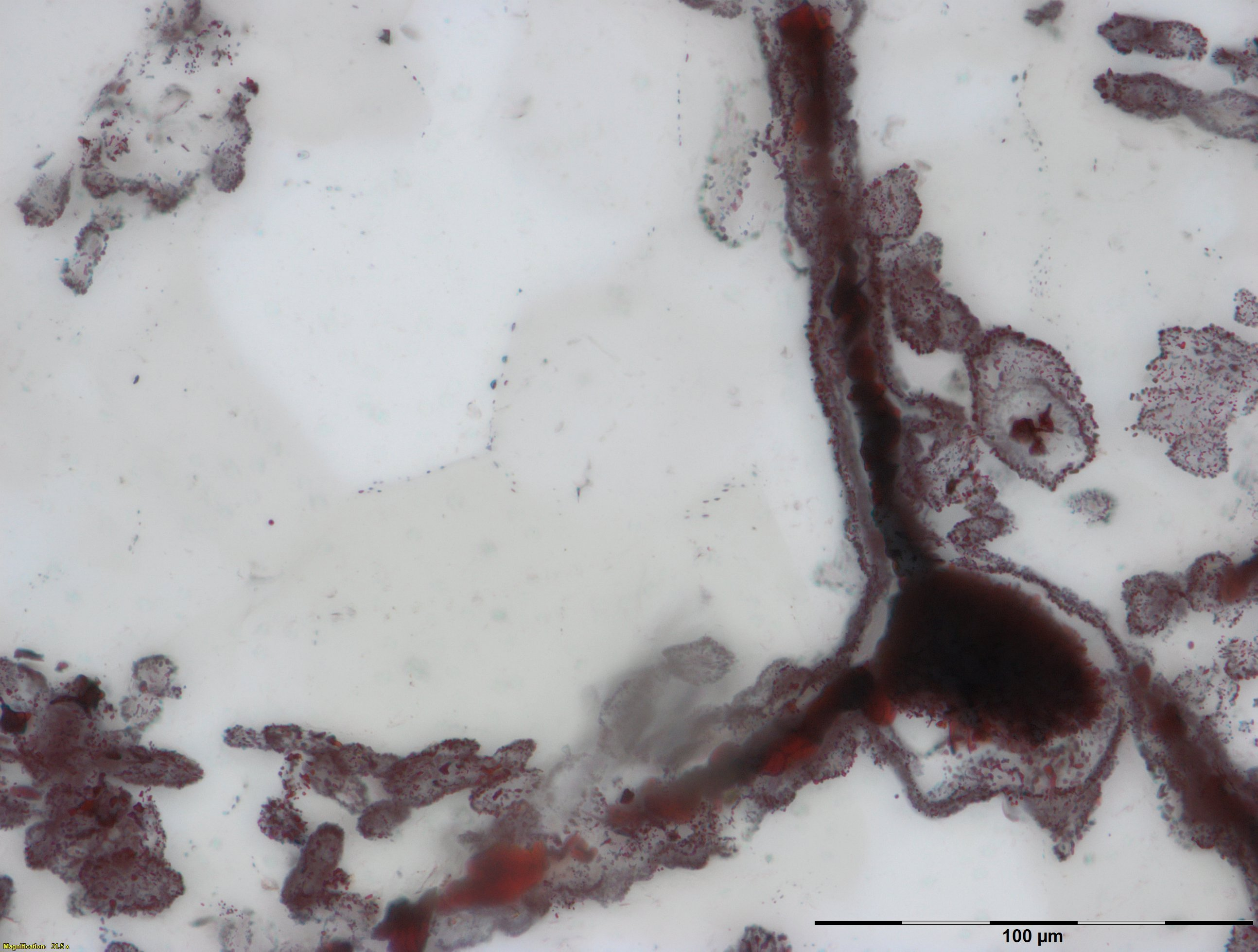 Haematite filament attached to a clump of iron in the lower right, from hydrothermal vent deposits in the Nuvvuagittuq Supracrustal Belt in Quebec, Canada. These clumps of iron and filaments were microbial cells and are similar to modern microbes found in vent environments. Credit: M.Dodd