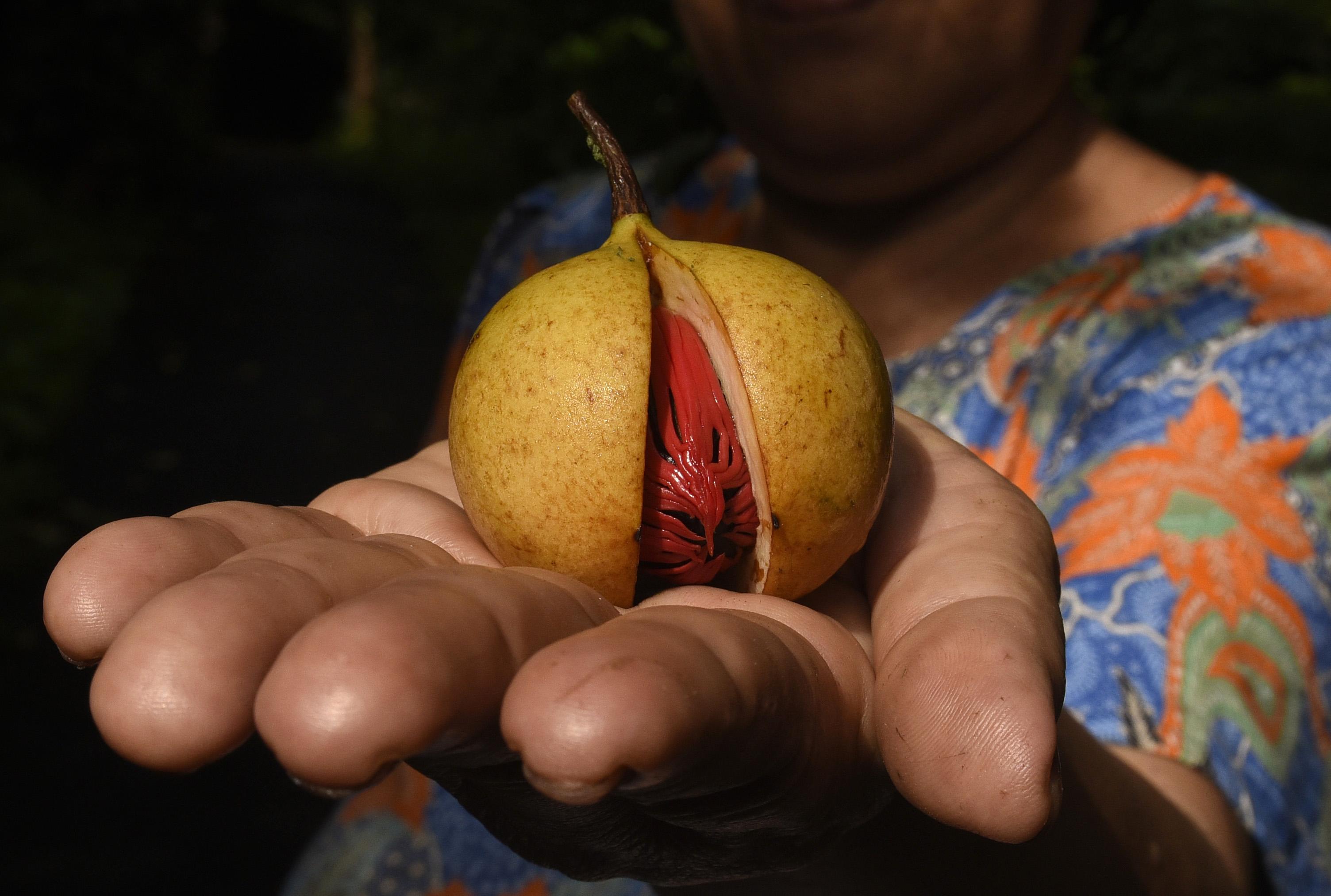Warga menunjukkan buah pala yang telah matang di Banda Neira. Foto oleh Fanny Octavianus/Antara