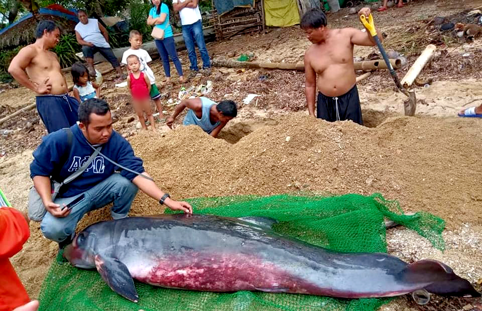 STRANDED. A female pgymy sperm whale is found dead along the coast of Barangay Pasal in Del Gallego, Camarines Sur. Photo courtesy of BFAR Bicol