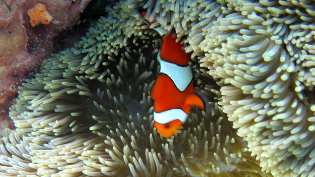 FINDING NEMO. A colorful marine sanctuary makes Kagusuan even more of a winner. Photo by Eileen Campos