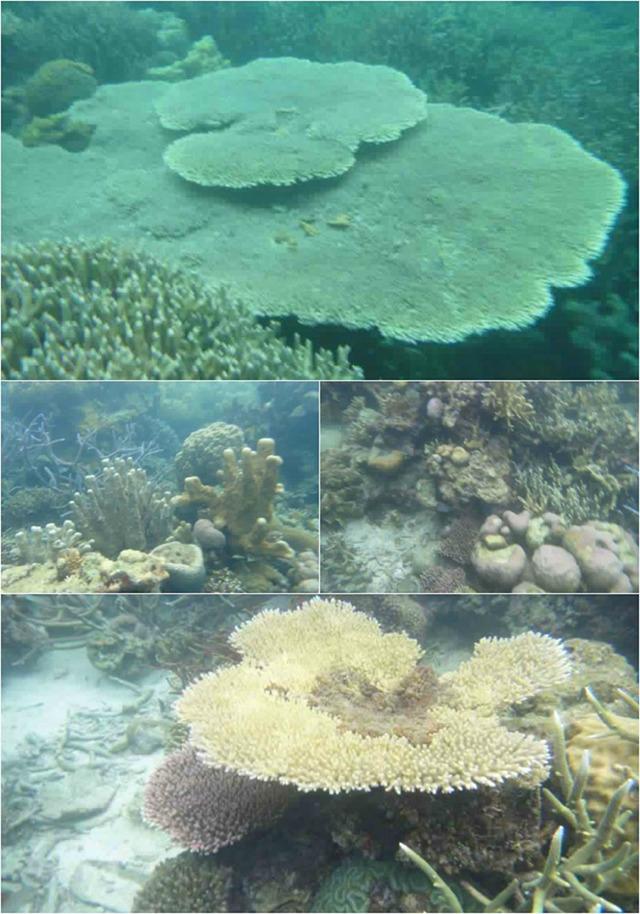 CORAL GARDEN. A glimpse of massive corals in the underwater garden of Coron. Photo courtesy of Dos Ocampo