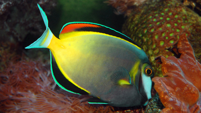REEF SAVIOR. A White-cheeked Surgeonfish (Acanthurus japonicas) unknowingly assists in the recovery of the Tubbataha Reef