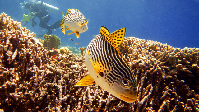 WORLD OF WONDERS. A Diagonal-banded Sweetlips (Plectorhinchus lineatus) goes about his daily business