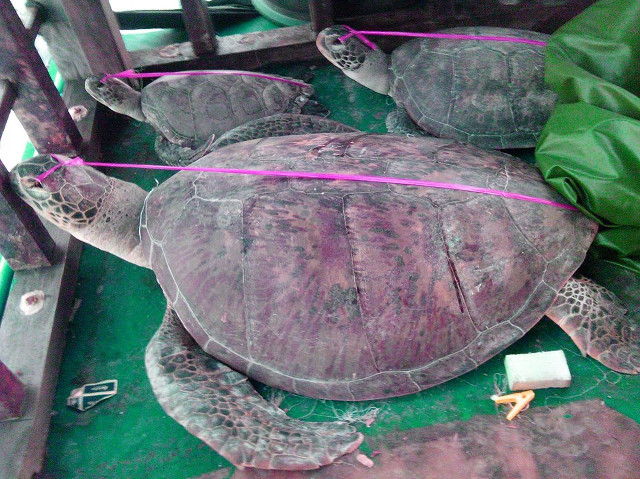 CAPTURED. Photos of poached sea turtles (pawikan) in the Chinese vessel intercepted by the PNP Maritime Group on May 6. Photo courtesy of the PNP Maritime Group