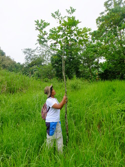 GROWING. Foresters report 85% survival rate among indigenous seedlings they planted