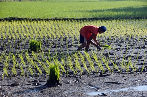 STAPLE FOOD. The poor keeps demand high for the crop this rice farmer is planting. Photo by AFP
