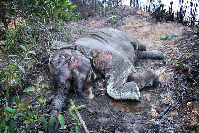 DEAD. In this November 2012 photo, a carcass of an endangered Sumatran elephant lies in Pelalawan district outside the Tesso Nilo National Park in Riau province. Three critically-endangered Sumatran elephants found dead in Indonesia's Riau province were probably poisoned in a revenge attack by palm oil plantation workers, an official said on November 12, 2012. Photo by AFP